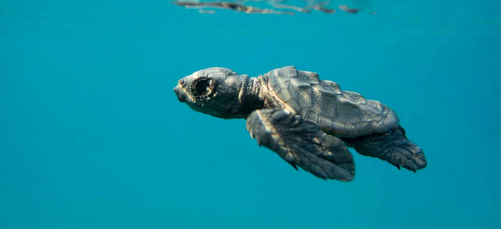 Small Caretta's turtle swimming underwater