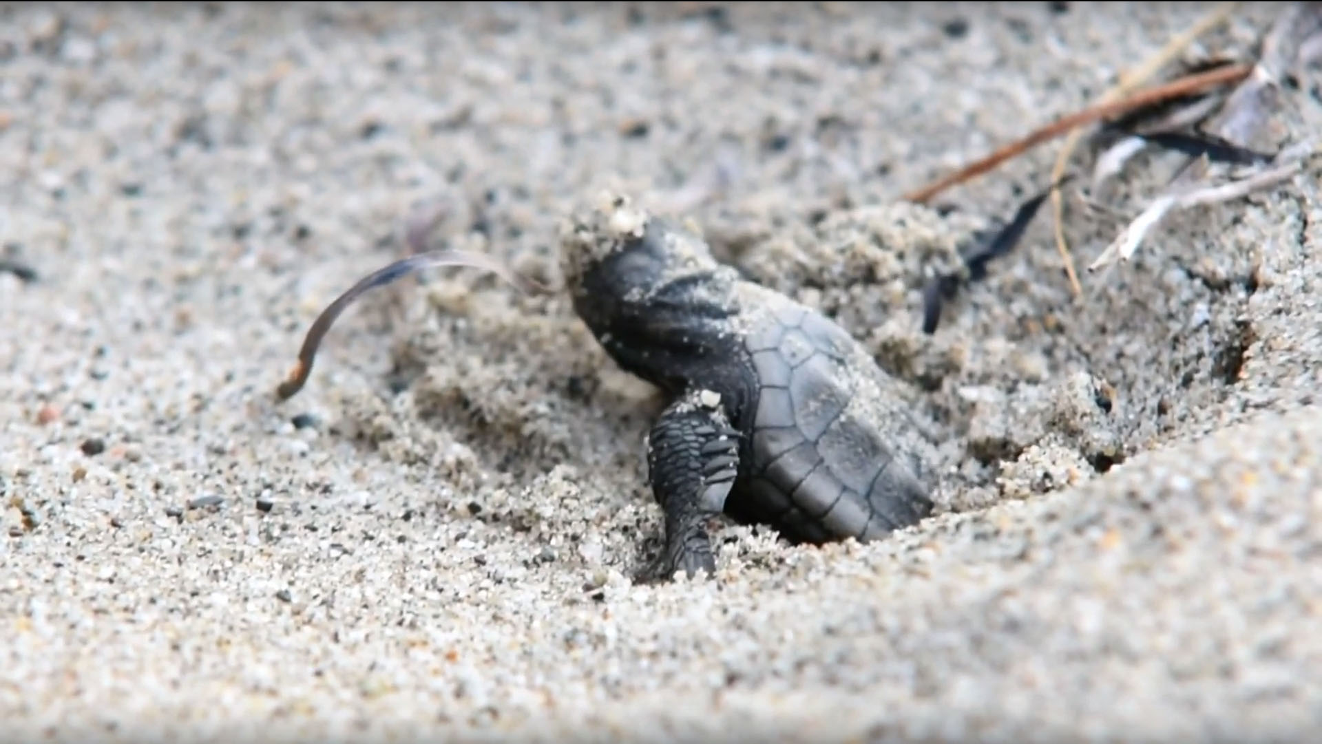 Newborn Caretta's turtle